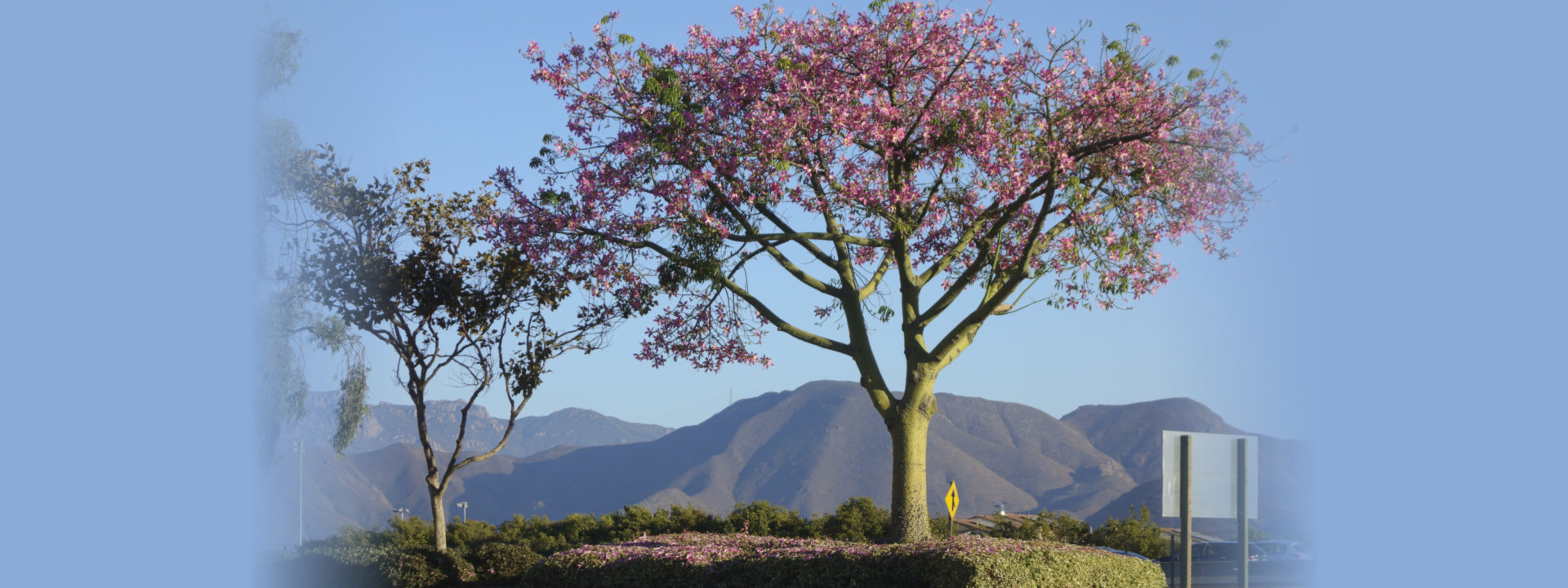 ceiba speciosa or floss silk tree